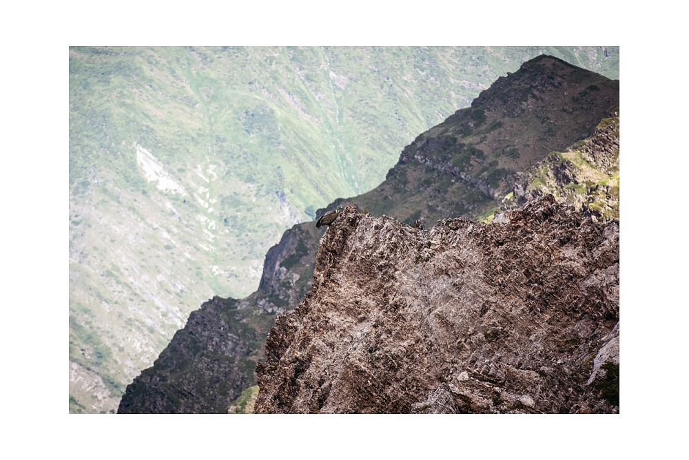 Grifone appollaiato su sperone di roccia - Parco Nazionale dei Pirenei  © 2019 www.lucaprosperophotographer.com