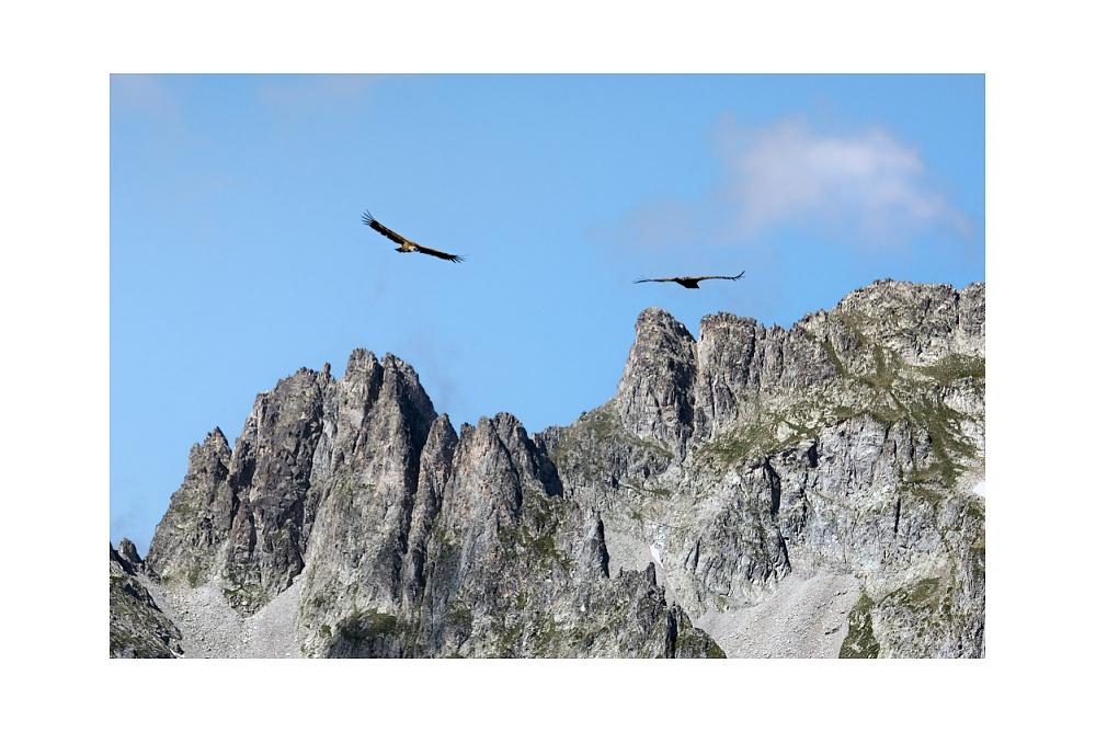 Coppia di Grifoni sul Pic de Maleshores - Parco Nazionale dei Pirenei  © 2019 www.lucaprosperophotographer.com