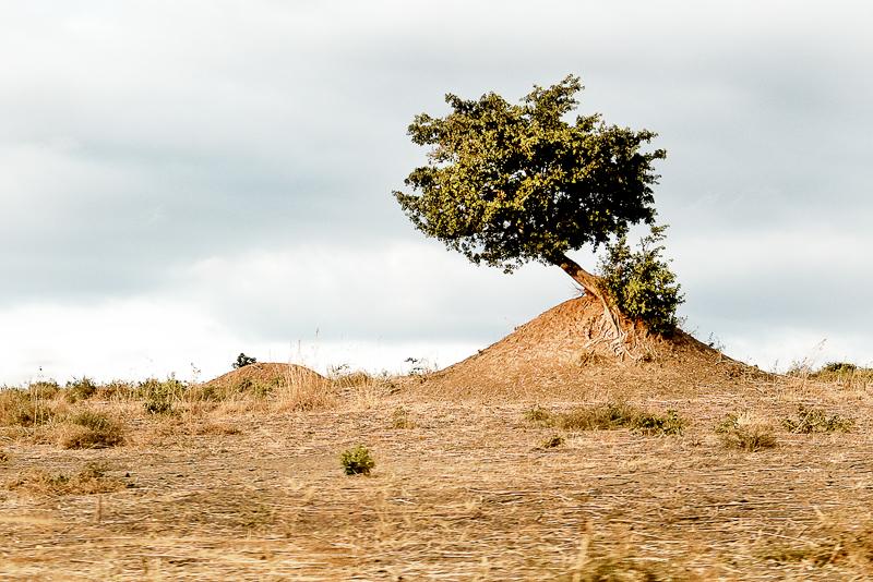 albero su termitaio